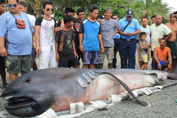 """Cá mập khổng lồ dạt bờ, dân Philippines sợ """"tận thế"""" - 1"""