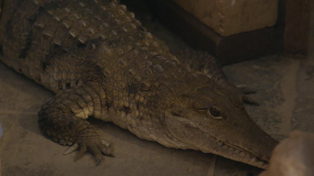 Nuôi nấng, ngủ cùng 5 cá sấu như con - 1