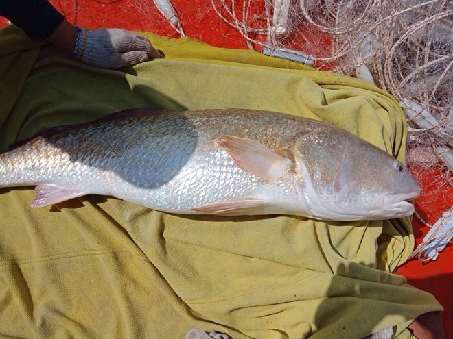 Một ngư dân ở Cà Mau nghi bắt được cá sủ vàng nặng 6kg - 1