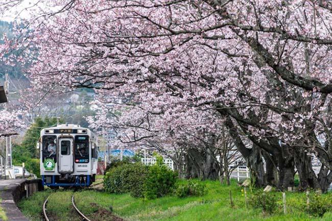 Lịm tim trước đường hầm hoa Anh Đào chỉ xuất hiện 7 ngày trong năm tại Nhật Bản - 1