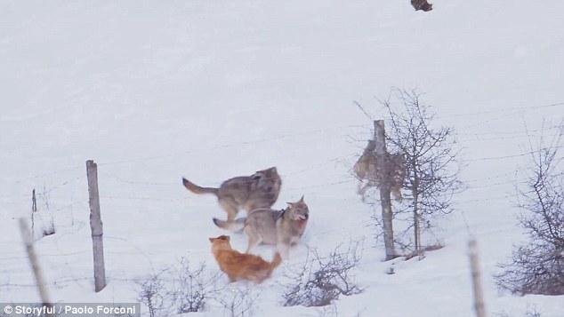 3 chó sói truy sát như bay, chó nhà vẫn bình tĩnh thoát thân - 1