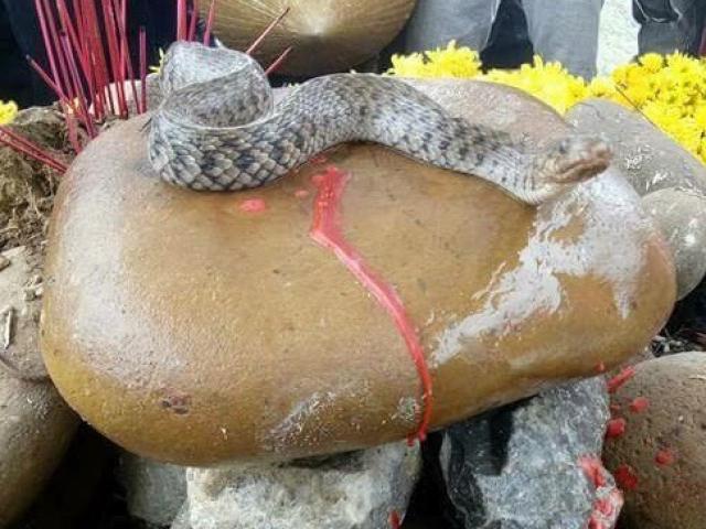 Di chuyển con rắn khỏi ngôi mộ vô danh ở Quảng Bình