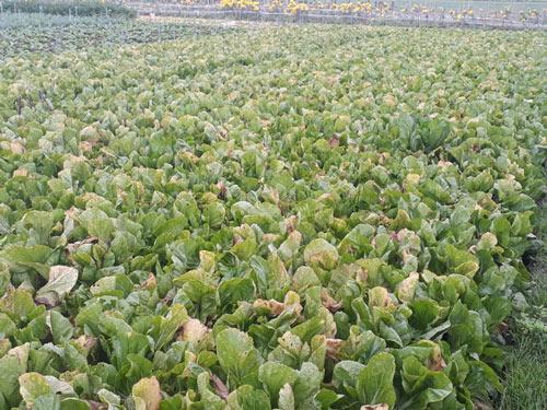 Rau xanh rớt giá, nông dân để rau chết già, thối rữa tại ruộng - 1
