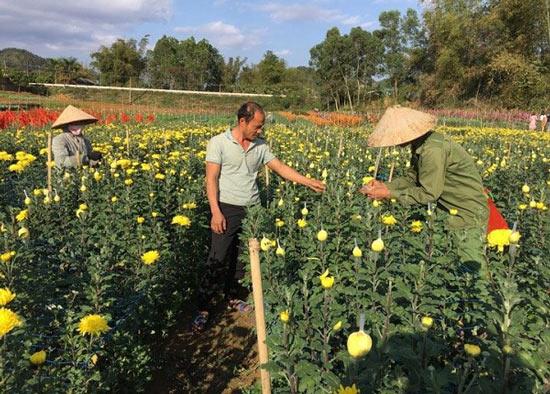 """Trồng 0,7ha hoa cúc, 8x """"đút túi"""" hơn 200 triệu đồng mỗi năm - 1"""