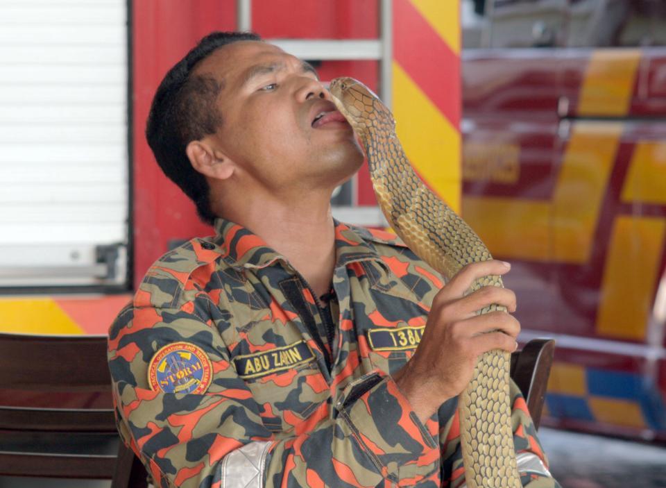 Malaysia: Chuyên gia bắt rắn bị hổ mang chúa khổng lồ cắn chết - 1