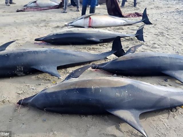 Bị cá voi sát thủ dồn vào bờ, gần 50 cá heo chết thảm