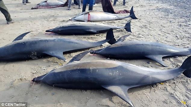 Bị cá voi sát thủ dồn vào bờ, gần 50 cá heo chết thảm - 1