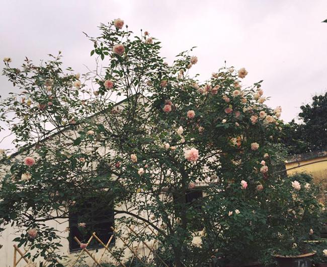 """Săn lùng gốc hồng cổ thụ đắt đỏ như thế này đang trở thành """"mốt"""" của những người chơi cây."""