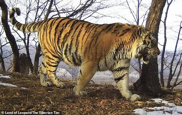 Kinh ngạc khi thấy hổ khổng lồ đi tìm người giúp vì bị thương - 1