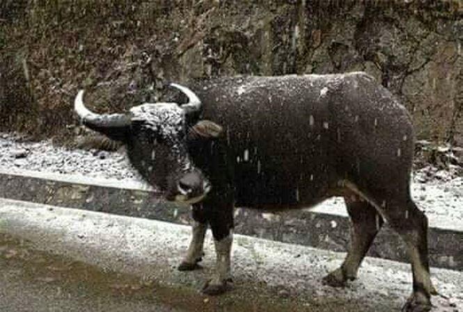 Lạng Sơn: Gà đóng băng trên cây, trâu bò đổ gục vì giá rét - 1
