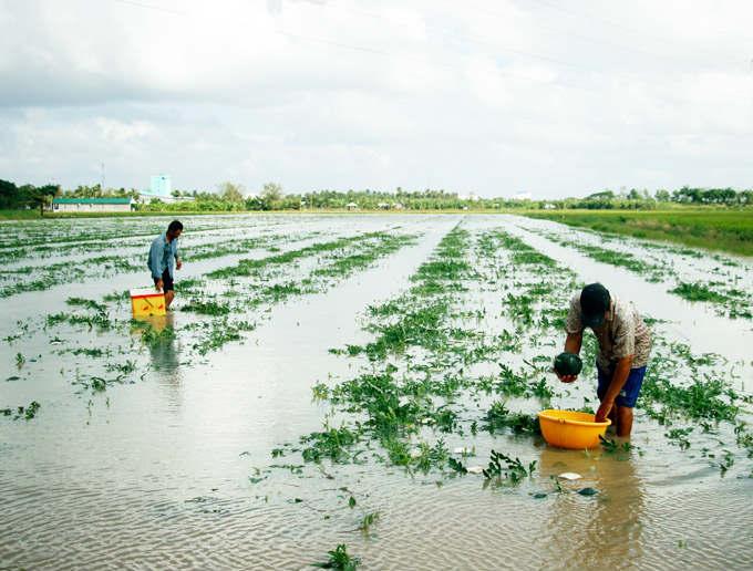 Cận Tết, nông dân Cà Mau khóc trên ruộng dưa hấu bị chìm trong nước - 1