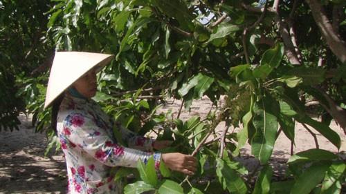Nông dân Bình Thuận thất thu vụ xoài Tết - 1