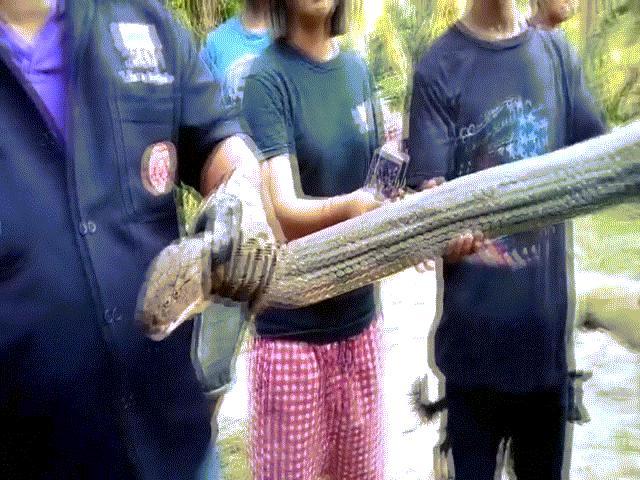 """Hổ mang chúa khổng lồ dài chưa từng thấy vào """"thăm"""" nhà cô gái Thái Lan"""