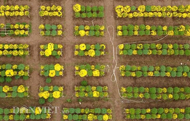 Mê mẩn cánh đồng hoa cúc Sa Đéc giữa lòng Hà Nội - 1