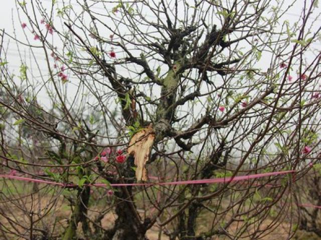 Vụ trăm gốc đào bị chặt phá: Một chủ vườn đào tự tử