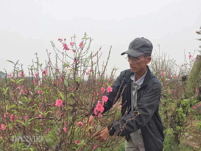 Hàng trăm cây đào bị phá hoại ở Bắc Ninh: Thủ phạm là người làng? - 1