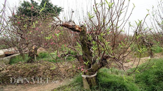 Vụ hàng trăm cây đào bị phá hoại tan tành ở Bắc Ninh: Một chủ vườn đào bị tình nghi - 1