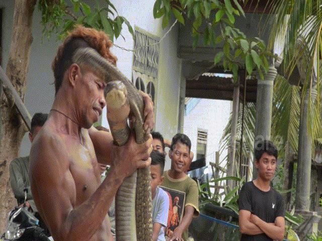 Người đàn ông Indonesia thản nhiên chơi với cặp hổ mang chúa khổng lồ