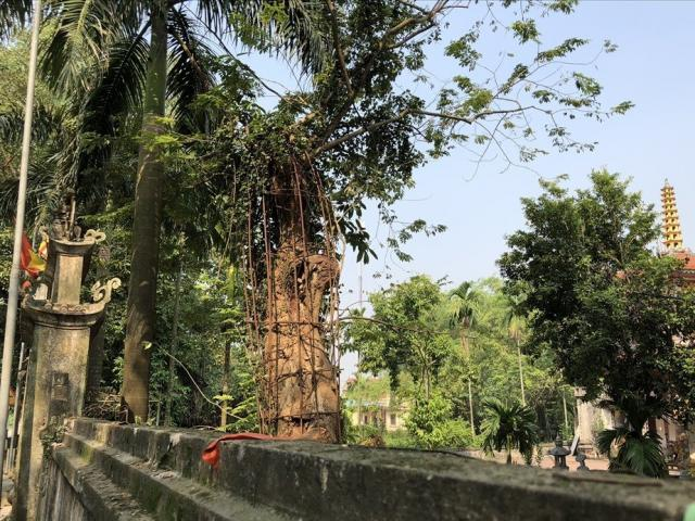 Why has a community in Hanoi cut down a billion trees before Tet?
