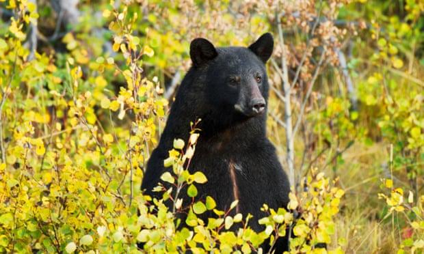 Bé trai 3 tuổi lạc vào rừng giữa mùa đông, sống sót nhờ... gấu đen - 1