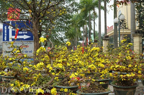 Apricot Flower Binh Valuation of Hundred Million, Descent & # 34; Hanoi competes for training - 1