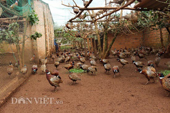 Offer craving: Pheasant breeding to sell Tet, last month of the year is 70 million - 1
