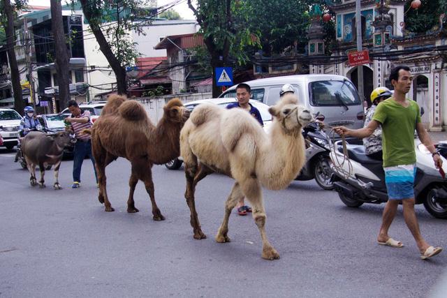 """Tiết lộ vai trò đặc biệt của 2 con lạc đà từng """"đi lạc"""" trên phố Hà Nội - 1"""