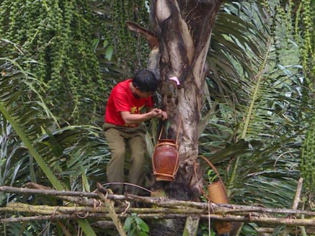 """Cực lạ Gia Lai: Loài cây trực tiếp cho rượu """"vạn người mê"""""""