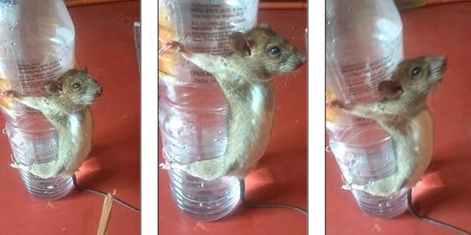 """Video: Chuột bị trói vào chai nhựa, tra tấn vì """"gặm"""" dây sạc điện thoại - 1"""