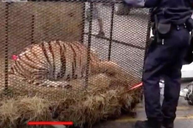 Mỹ: Vào nhà hoang hút cần sa, sốc khi thấy con thú 4,5 tạ bên trong - 1