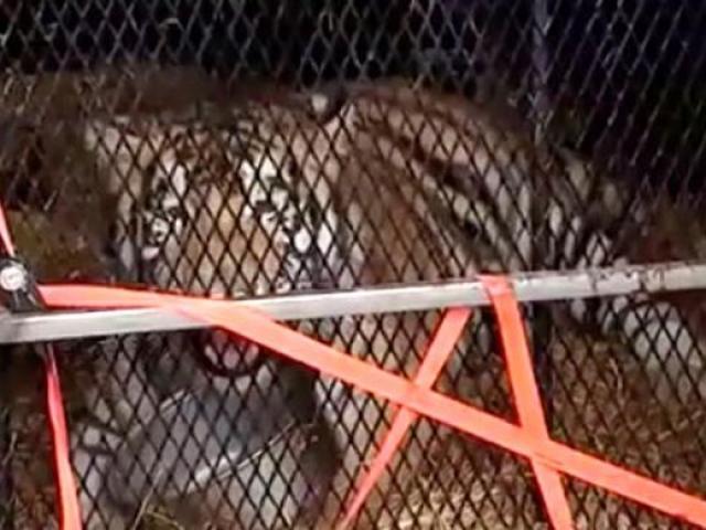 Mỹ: Vào nhà hoang hút cần sa, sốc khi thấy con thú 4,5 tạ bên trong