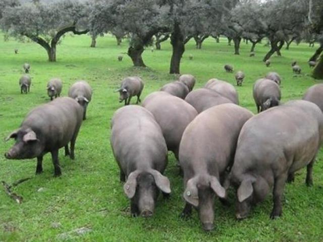 Năm Kỷ Hợi, thử tài đoán giá thịt các loài heo trên khắp thế giới