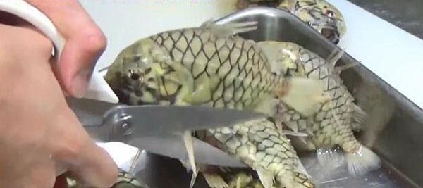 Loài cá cứng nhất thế giới, kéo cắt không đứt thì phải ăn kiểu gì? - 1