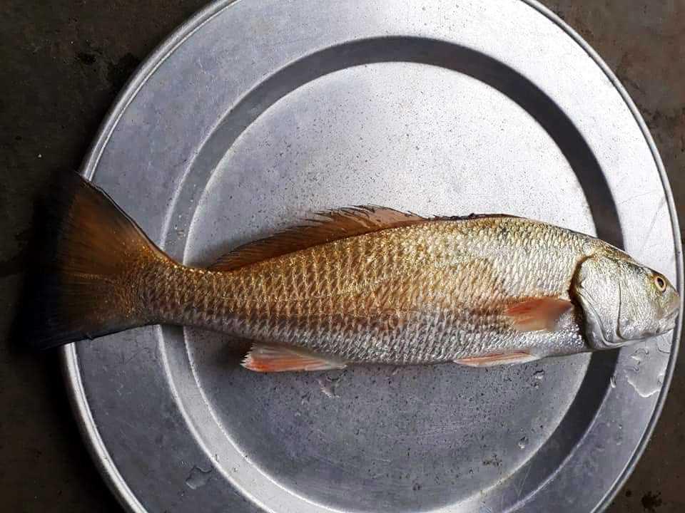 """Định xẻ thịt cá để ăn, phát hiện thứ nghi là """"quý hơn cả vàng"""" - 1"""