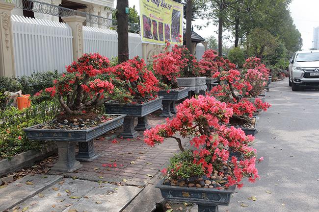 Dàn cây đỗ quyên bonsai đỏ rực cả một góc tại Triển lãm sinh vật cảnh tỉnh Bắc Ninh (2019) khiến nhiều người mê mẩn, ngỡ ngàng bởi đây là lần đầu tiên họ nhìn thấy những cây đỗ quyên cổ thụ đẹp đến như vậy.