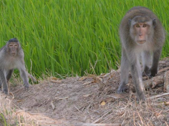 Dùng súng bắn tỉa hạ bầy khỉ hoang cắn cháu bé ở Sóc Trăng