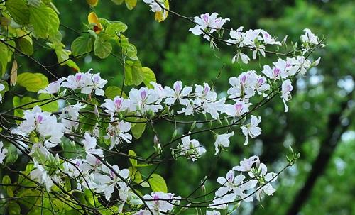 Tác dụng chữa bệnh không ngờ của hoa ban - 1