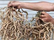 """Khám phá bộ rễ cây khủng giúp đàn ông mạnh """"chuyện ấy"""""""
