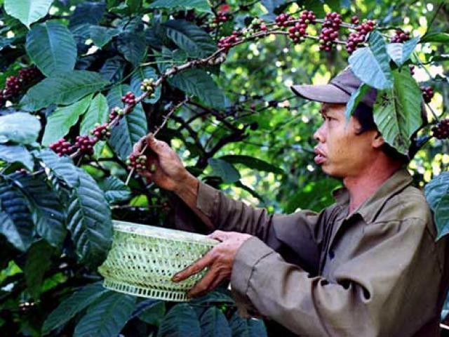 """Càng làm càng lỗ, nông dân """"tháo chạy"""" khỏi cây tỷ đô cà phê"""