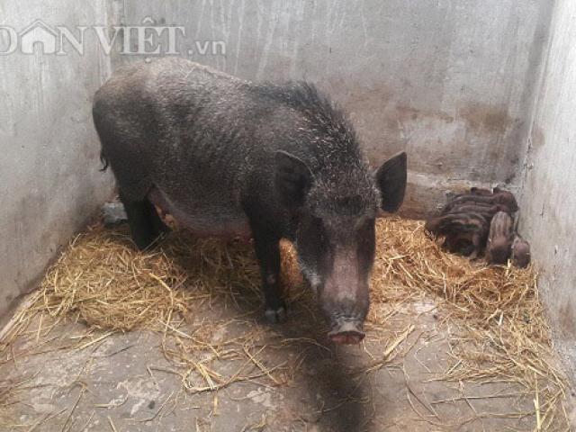 Nuôi lợn rừng chỉ cho ăn cây chuối, rau muống, kiếm nửa tỷ/năm