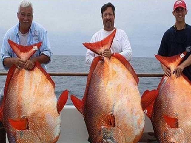 Loài cá khổng lồ siêu đắt đỏ được người Nhật săn lùng quanh năm