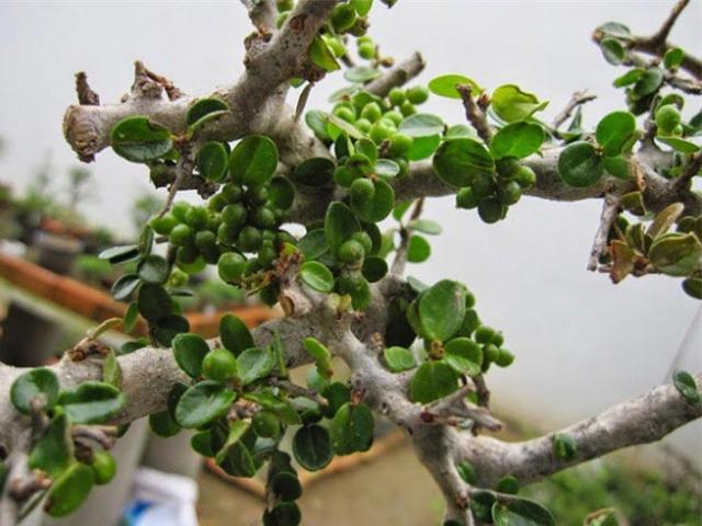 Sam núi bonsai cực quý hiếm lại còn là cây thuốc ở miền Trung