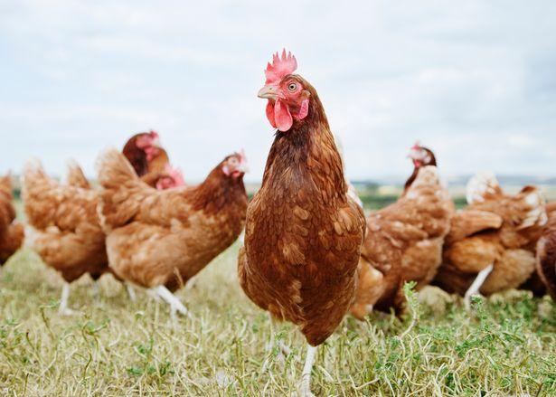 Cáo vào chuồng 3.000 con gà, tưởng được ăn no, không ngờ lãnh kết cục thảm - 1