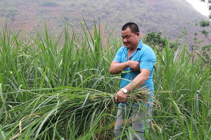 Trồng cỏ nuôi con uống nước lã, mỗi năm kiếm đôi trăm triệu đồng - 3