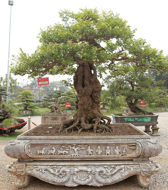 """Tại triển lãm Sinh vật cảnh Dũng Tân năm 2019 (TP Sông Công, Thái Nguyên), cây khế """"khủng"""", dáng trực của ông Nguyễn Hồng Quang (TP Thái Nguyên) gây chú ý với người dân và giới chơi cây cảnh."""