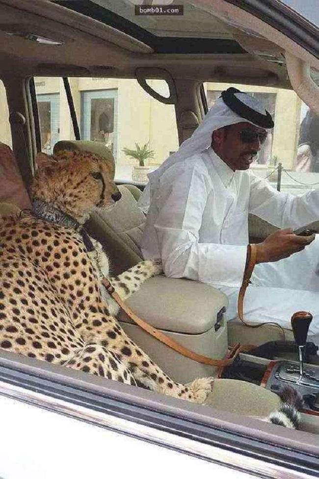 Người Dubai cũng thích nuôi thú cưng, nhưng họ sẽ không chọn những con vật bình thường như chó mèo mà thay vào đó là hổ, báo, sư tử.