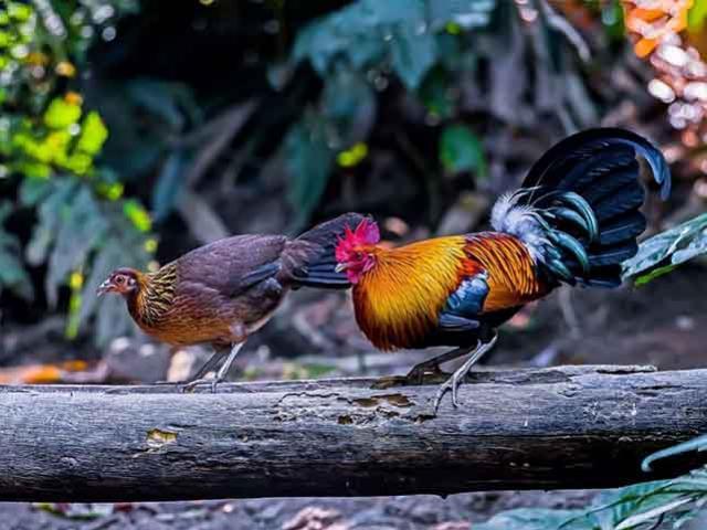 Giống gà quý hiếm ở Sri Lanka, ăn 1 miếng là lãnh án tù