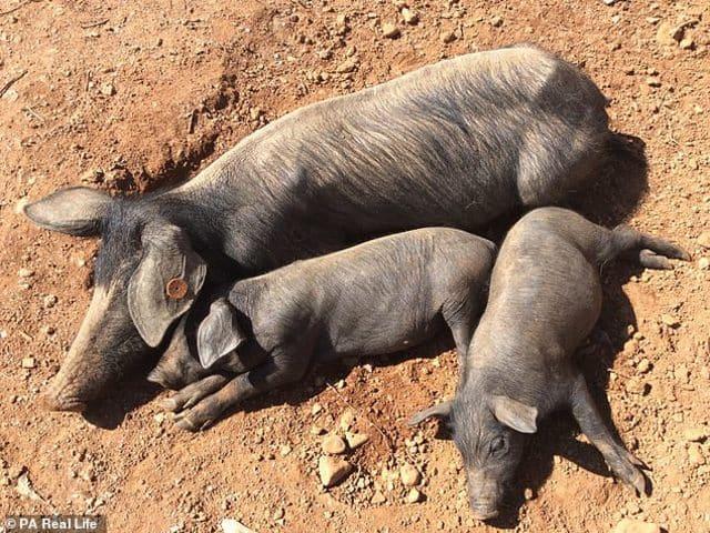 Kinh doanh - Doanh nhân rời bỏ thành phố vào rừng nuôi lợn trồng rau