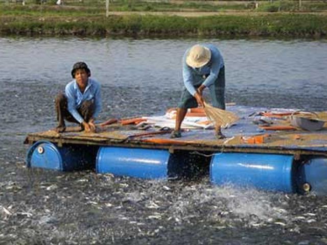 Trung Quốc nuôi cá tra, có đáng lo?