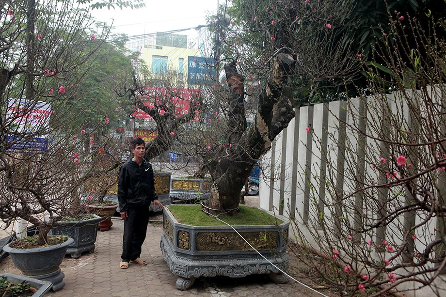 Đào Nhật Tân ghép đào rừng cổ thụ, giá thuê chơi Tết đã hơn trăm triệu - 1
